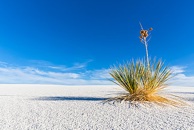 USA, New Mexico, Chihuahua Desert, White Sands National Monument, soap tree on desert dune - p300m1417164 by Fotofeeling