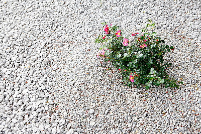 Rosenstrauch - p179m831184 von Roland Schneider