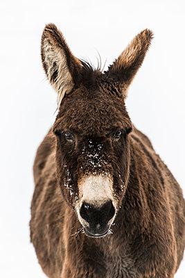 Donkey - p829m949341 by Régis Domergue