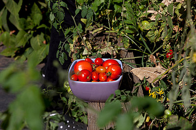 Bowl of fresh garden tomatoes - p956m1044371 by Anna Quinn
