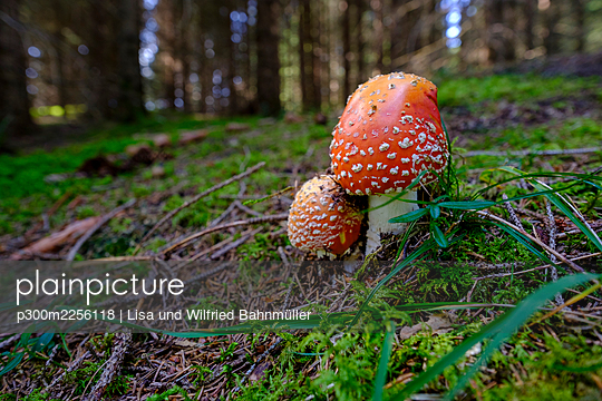 Fly agarics (Amanita muscaria) growing in forest - p300m2256118 by Lisa und Wilfried Bahnmüller