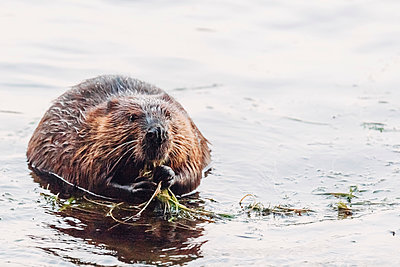 Beaver at Chandos Lake - p1065m982642 by KNSY Bande