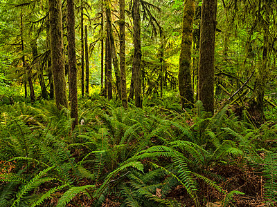 Moss-covered trees and ferns in a rainforest along Nile Creek, near Campbell River; British Columbia, Canada - p442m2039448 by Robert Postma