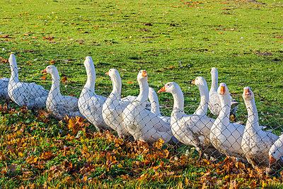 Geese - p739m852669 by Baertels