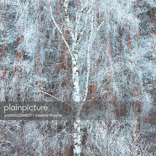 Hoar frost on birch branches  - p1653m2259837 by Vladimir Proshin