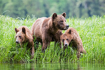 Female grizzly with kids at lake - p300m885003f by Fotofeeling