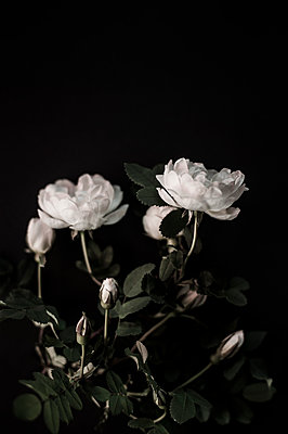White roses - p971m911952 by Reilika Landen