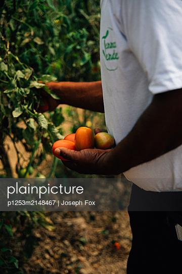 Dominikanische Republik, Tomatenernte - p1253m2148467 von Joseph Fox