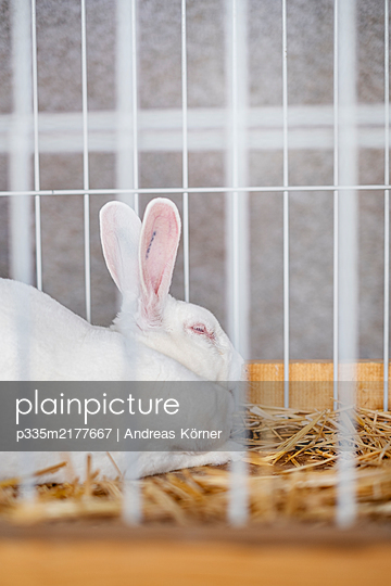 Albino rabbit in a cage - p335m2177667 by Andreas Körner