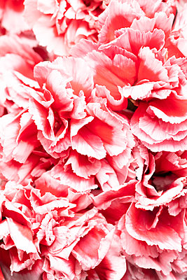 pink carnation flowers - p919m2204176 by Beowulf Sheehan
