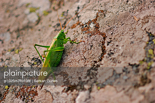 Close-up of a grasshopper on rock surface
