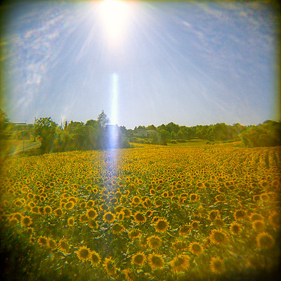 Sunflower field and French landscape basked in afternoon sun. - p1072m829213 by Neville Mountford-Hoare