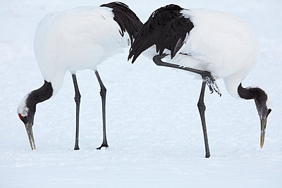 Red-Crowned Cranes, Grus japonensis, standing in the snow in winter. - p1100m1520110 by Mint Images