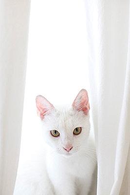 Weiße Katze - p2490520 von Ute Mans