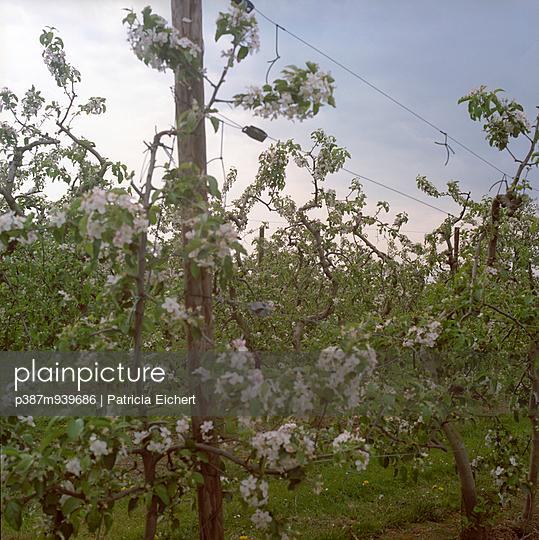 Fruit trees - p387m939686 by Patricia Eichert