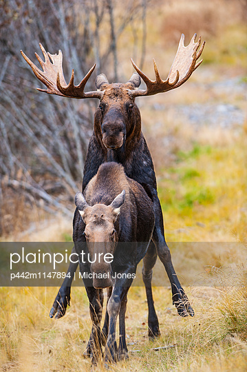 A bull moose in rut mating with a cow moose in Kincaid Park near the Toney Knowels Coastal Trail, Anchorage, Southcentral Alaska, autumn    - p442m1147894 by Michael Jones