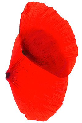 Petals in studio - p4010615 by Frank Baquet