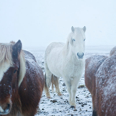 Islandponys im Schneegestöber - p606m960660 von Iris Friedrich