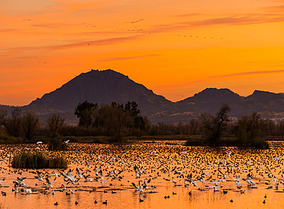 Snow Geese flying at sunset in front of the Sutter Buttes, Grey Lodge Wildlife Refuge - p343m958380f by  Josh Miller Photography