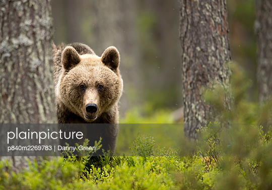 Brown Bear (Ursus arctos) in the forest, Finland, June - p840m2269783 by Danny Green