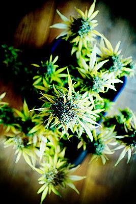 Cannabis - p1149m2182406 by Yvonne Röder