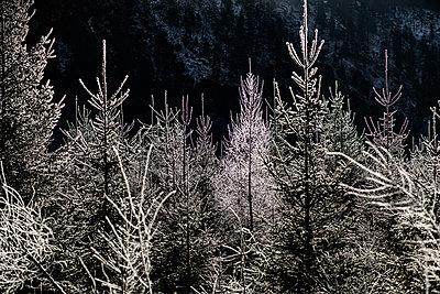 Bäume im Gegenlicht mit Raureif am Almsee, Oberösterreich - p1463m2253281 von Wolfgang Simlinger