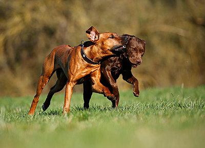 Rhodesian Ridgeback and brown Labrador Retriever, Canis lupus familiaris, running on a meadow - p300m950123f by Silke Klewitz-Seemann