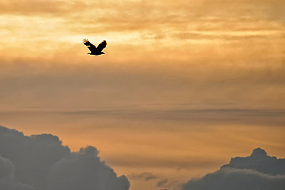 Germany, Schleswig-Holstein, flying white-tailed eagle, Haliaeetus albicilla, at twilight - p300m975190f by Hans Clausen