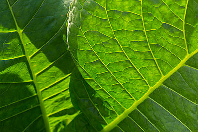 Close-up of tobacco leaves, Vinales, Pinar del Rio Province, Cuba - p343m2032522 by Keri Oberly