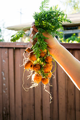 Woman holding freshly harvested mini carrots - p924m1422777 by Raphye Alexius