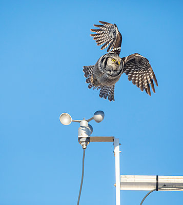 Northern Hawk Owl (Surnia ulula), known for sitting on the highest perch possible while looking for prey such as voles moving below. This one takes flight from the top of a wind-powered mechanism with post against a blue sky; Alaska, United States of Amer - p442m2111514 by Doug Lindstrand