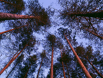 Trees low angle view - p5751118 by Roine Magnusson