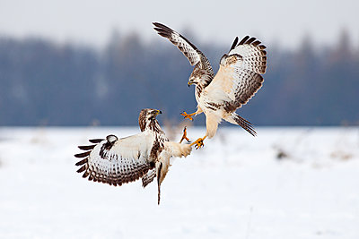 Common Buzzard pair fighting over food in winter, Germany - p884m1136163 by Duncan Usher
