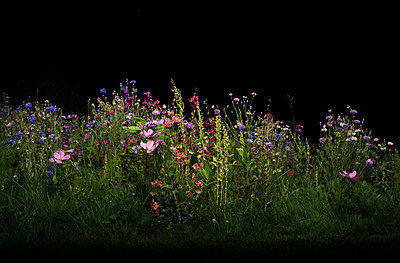 Field with wild flowers at night - p429m2145845 by Mischa Keijser