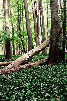 Totholz im Hainich Nationalpark, - p1168m1138023 von Thomas Günther
