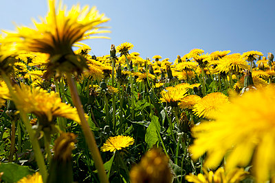 Dandelion flowers - p304m661001 by R. Wolf