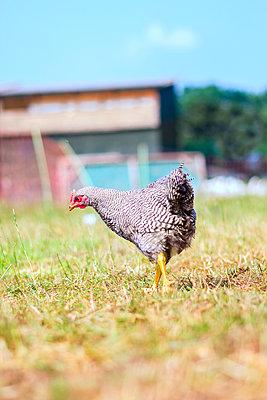 Free-range chicken - p739m916483 by Baertels