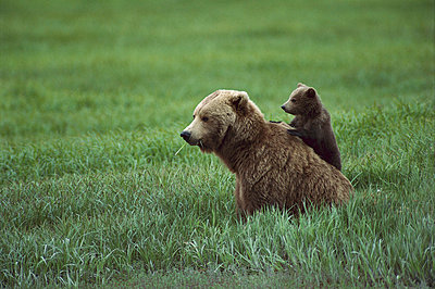 Grizzly Bear mother and cub - p8840127 by Michio Hoshino