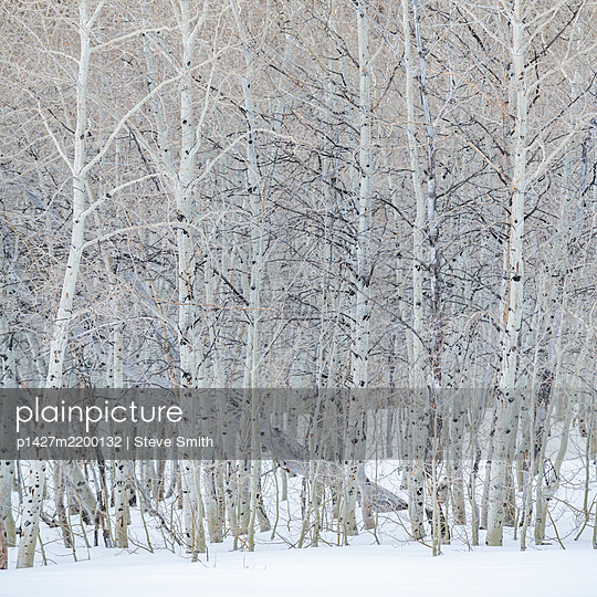 USA, Idaho, Sun Valley, Aspen forest in winter in Sawtooth National Forest - p1427m2200132 by Steve Smith