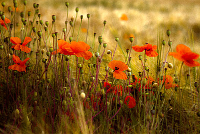Close up of poppies - p1072m829040 by Graeme Ruddick