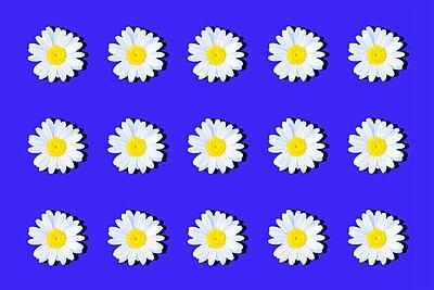 Marguerites - p1149m2187951 by Yvonne Röder