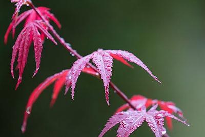 Wet leaves of Japanese Maple - p300m1189652 by Markus Pavlowsky