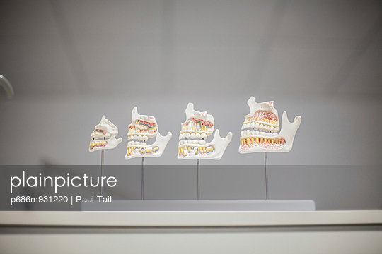 Model display of human teeth, nerves and gums - p686m931220 by Paul Tait