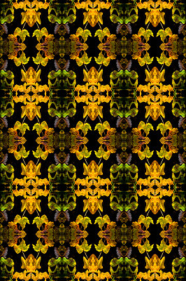 Computer generated abstract repeated pattern using collaged virginia creeper leaves on black background - p1047m2229707 by Sally Mundy
