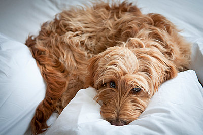 Cockapoo Puppy on clean white sheets - p1181m971350 by Kelly Hill