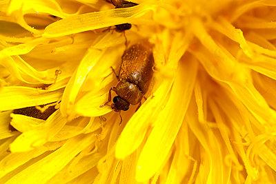 Beetle in dandelions - p1501m2064181 by Alexander Sommer