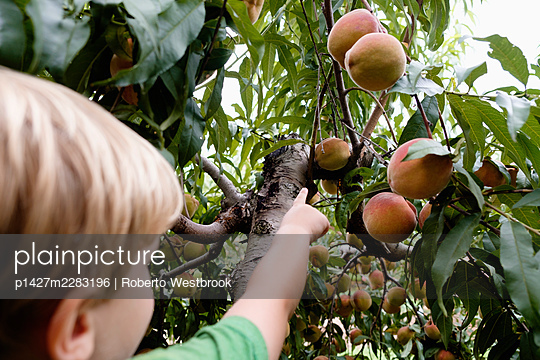 Rear view of boy reaching to pick peach from tree on fruit farm - p1427m2283196 by Roberto Westbrook