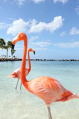 Flamingos at Aruba - p045m912531 by Jasmin Sander
