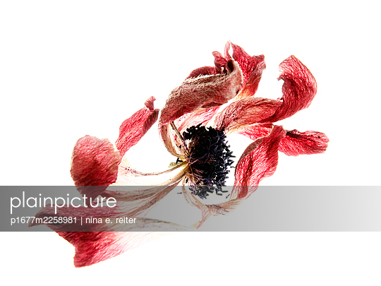 Anemone blossoms against white background - p1677m2258981 by nina e. reiter