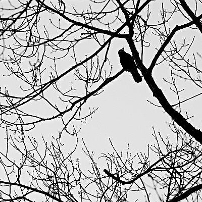 Einzelne Krähe in einer Baumkrone - p1203m1582525 von Bernd Schumacher